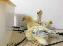 دجاج زينة نوع براهما لايت خط اول فول (افراخ عمر 25 يوم )