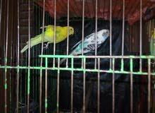 عصافير بادجى دكر ونتاية شغالين للبيع