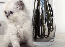 قطط راقدول للبيع