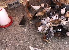دجاج عماني تهجين فرنسي
