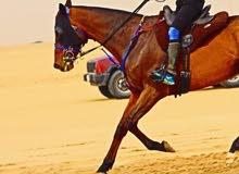 مطلوب حصان او فرس