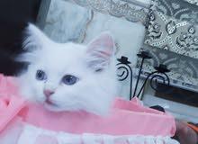 قطة جميلة للبيع