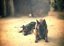 كلب كوستم جيرمني شبيرد وكلب مالينوا