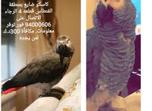 كاسكو ضايع في الفنطاس 500 دينار كويتي مكافأة لمن يجده موبايل رقم 94000606