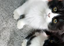 قطط للبيع ذكر وانثى