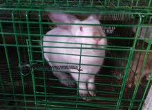 أجود سلالات الأرانب جاهزة للتلقيح