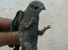 طائر الابابيل