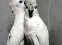 For sale parrot cockato male and female