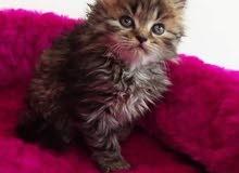 قطط شانشيلا ذكور واناث العمر شهرين