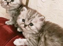 قطة شانشيلا بيور لون مميز العمر 40 يوم