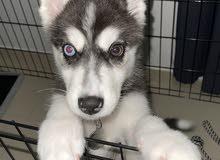 Siberian Husky هاسكي