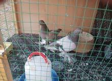 زوج طيور مساكي زينة مزاويج للبيع