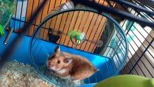 هامستر روسي عمر سهر russian hamster