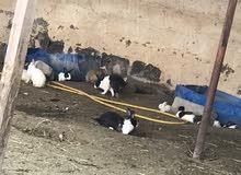 أرنب عمانيات في سن الإنتاج