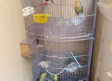 مجموعه رائعه من العصافير الأسترالي.. والفيشر
