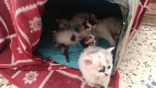 بسه نوع تركي مع اربع قطط صغار