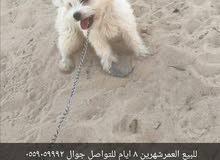 كلب ماتيز العمرشهرين