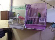 Budgie parrots........ Breeder pair 800