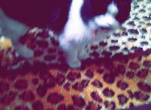 قطه شيرازي للبيع بسعر مغري