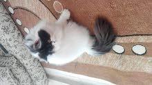 قطه ڤان هاف بيكي منتجة للبيع بسعر مغري