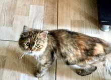قطة فارسية أنثى درجة مشاء الله للبيع