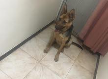 كلب جرمني للبيع عمره 6شهور مدرب وملقح