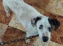 كلبة بيتبول للبيع او تبديل