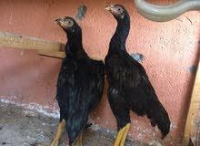 س ع دجاج هنادي أصليات دجاجات اوً ديوجه ماعرفهن العدد 2