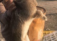 ارانب اناثي وذكور منتجة للبيع