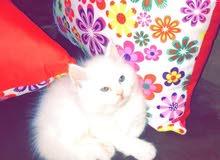 قطط شرازي الاب انقوره والام شنشيلو
