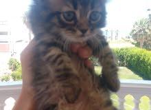 cf9c241546c94 موقع  1 لبيع القطط في مصر   قطط شيرازي للبيع   قطط هيمالايا للبيع ...