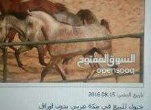 خيل عربي شعبي