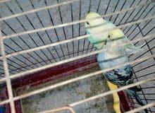 عصافير حب شغالات 100٪