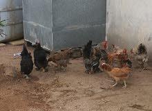 دجاج براهما ديك واربع دجاجات