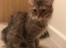 CAT For ADOPTION(FREE)