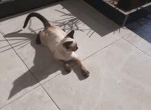 قط سيامي