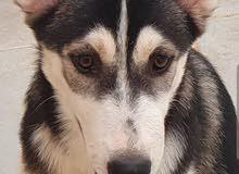 كلب هاسكي انثى بيور بيعه مستعجله