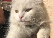 قط شيرازي ابيض اصلي