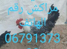 فروج دجاج الفيومي البيع مراكش