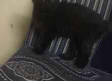 بيع قطه انثى بيور عمرها 8 اشهر