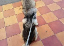 كلب هاسكي مكس جيرمان للبيع بدون دفتر ولا جواز عمره سنه و شهرين