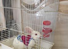 يوجد ارانب فرنسيه جميله جدن بكامل ملحقاتها مع اللبس