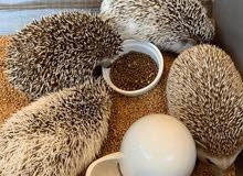 AFRICAN PYGMY HEDGE HOG WANTED