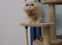 Persian piky face male (longhair)