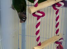 Canure Breeding pair with cage, breeding box, toy, water feeder