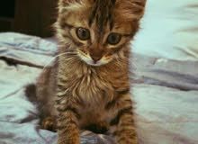 قطه قط قطوه