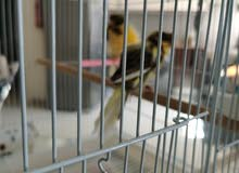 canari birds for sale, frills, crest, mozaiec all in pairs ready