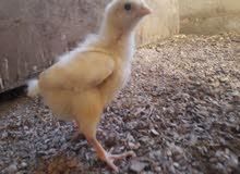 افراخ دجاج معمل العمر 15 يوم العدد 210 كتكوت 70 الف