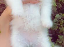 للبيع قطط شيرازيه العمر 48 يوم مكاني بغداد البياع السعر 180
