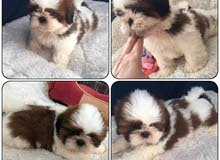 Shihtzu Pure Breed Puppies Available